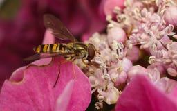 Όμορφο να ταΐσει Hoverfly με ένα ρόδινο λουλούδι Στοκ εικόνες με δικαίωμα ελεύθερης χρήσης
