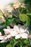Όμορφο λουλούδι δέντρων μηλιάς την άνοιξη Στοκ Εικόνες