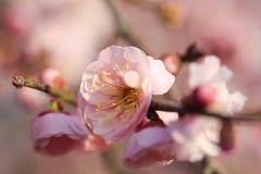 Όμορφο λουλούδι δαμάσκηνων Στοκ Εικόνα