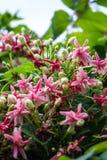 Όμορφο λουλούδι: Αναρριχητικό φυτό του Ρανγκούν Στοκ εικόνα με δικαίωμα ελεύθερης χρήσης