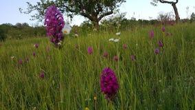 Όμορφο λουλούδι βουνών στη φύση Στοκ Φωτογραφίες
