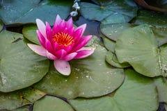 Όμορφο λουλούδι κρίνων νερού, Δημοκρατία της Τσεχίας Στοκ Εικόνα