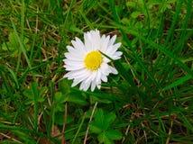 Όμορφο λουλούδι μαργαριτών και πράσινο υπόβαθρο χλόης Στοκ Εικόνα