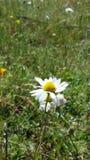 όμορφο λουλούδι μαργαριτών Στοκ εικόνα με δικαίωμα ελεύθερης χρήσης