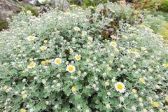 όμορφο λουλούδι μαργαρ&io Στοκ Φωτογραφία