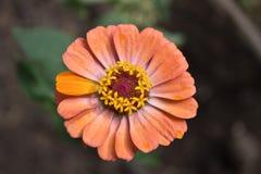 Όμορφο λουλούδι με τα πορτοκαλιά πέταλα Στοκ εικόνες με δικαίωμα ελεύθερης χρήσης
