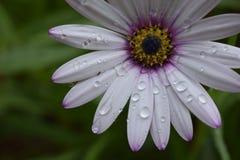 Όμορφο λουλούδι με τις πτώσεις του νερού μετά από τη βροχή Στοκ φωτογραφία με δικαίωμα ελεύθερης χρήσης