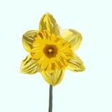 Όμορφο λουλούδι ναρκίσσων Στοκ Εικόνες