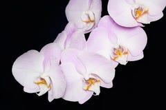 Όμορφο λουλούδι ορχιδεών Phalaenopsis στο μαύρο υπόβαθρο Στοκ εικόνες με δικαίωμα ελεύθερης χρήσης
