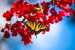 όμορφο λουλούδι πεταλούδων Στοκ Φωτογραφίες
