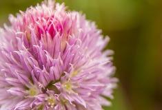 Όμορφο λουλούδι ροζ και lila Στοκ εικόνα με δικαίωμα ελεύθερης χρήσης