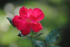 Όμορφο λουλούδι στην άνθιση Στοκ φωτογραφία με δικαίωμα ελεύθερης χρήσης