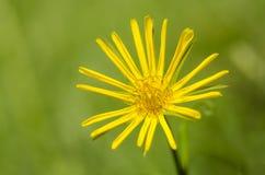 Όμορφο λουλούδι την άνοιξη Στοκ Εικόνα
