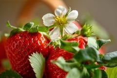 Όμορφο λουλούδι της φρέσκιας συγκομιδής φραουλών Στοκ Εικόνες
