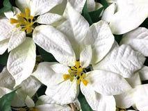 Όμορφο λουλούδι Χριστουγέννων Poinsettia faux άσπρο Στοκ εικόνα με δικαίωμα ελεύθερης χρήσης