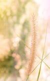 Όμορφο λουλούδι χλόης στη μαλακή διάθεση μεταξύ της φύσης bokeh Στοκ εικόνα με δικαίωμα ελεύθερης χρήσης