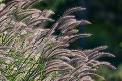Όμορφο λουλούδι χλόης Στοκ φωτογραφία με δικαίωμα ελεύθερης χρήσης