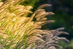 Όμορφο λουλούδι χλόης Στοκ φωτογραφίες με δικαίωμα ελεύθερης χρήσης