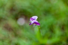 Όμορφο λουλούδι χλόης poaceae Στοκ Φωτογραφίες