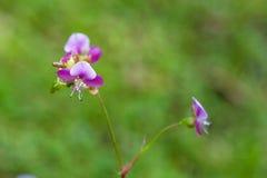Όμορφο λουλούδι χλόης poaceae Στοκ Εικόνα