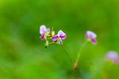 Όμορφο λουλούδι χλόης poaceae Στοκ εικόνες με δικαίωμα ελεύθερης χρήσης