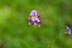 Όμορφο λουλούδι χλόης poaceae Στοκ φωτογραφίες με δικαίωμα ελεύθερης χρήσης