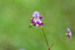 Όμορφο λουλούδι χλόης poaceae Στοκ φωτογραφία με δικαίωμα ελεύθερης χρήσης