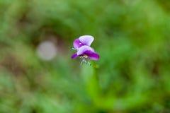 Όμορφο λουλούδι χλόης poaceae Στοκ Εικόνες