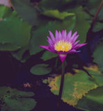 Όμορφο λουλούδι λωτού στην άνθιση Στοκ Εικόνα
