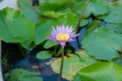 Όμορφο λουλούδι λωτού στην άνθιση Στοκ εικόνα με δικαίωμα ελεύθερης χρήσης