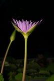 Όμορφο λουλούδι λωτού στην άνθιση Στοκ Εικόνες