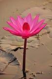 Όμορφο λουλούδι λωτού στην ανατολή, Καμπότζη Στοκ Εικόνες