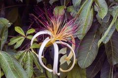 Όμορφο λουλούδι aquatica Pachira σε Tortuguero Στοκ Εικόνα