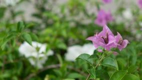 όμορφο λουλούδι bougainvillea Στοκ φωτογραφία με δικαίωμα ελεύθερης χρήσης