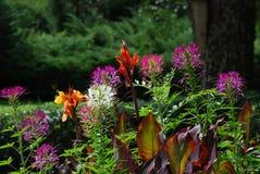 Όμορφο λουλούδι Fucsia σε έναν κήπο, Lienz Στοκ εικόνες με δικαίωμα ελεύθερης χρήσης