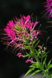 Όμορφο λουλούδι Fucsia σε έναν κήπο, Lienz Στοκ Φωτογραφίες