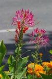 Όμορφο λουλούδι Fucsia σε έναν κήπο, Lienz Στοκ Εικόνα