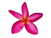 Όμορφο λουλούδι plumaria που απομονώνεται Στοκ εικόνα με δικαίωμα ελεύθερης χρήσης