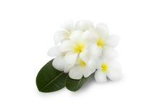 Όμορφο λουλούδι Plumeria πέρα από πράσινα φύλλα στο άσπρο υπόβαθρο Στοκ εικόνες με δικαίωμα ελεύθερης χρήσης