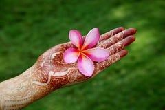 Όμορφο λουλούδι plumeria Στοκ φωτογραφία με δικαίωμα ελεύθερης χρήσης