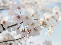 Όμορφο λουλούδι sakura ανθών κερασιών στοκ φωτογραφίες με δικαίωμα ελεύθερης χρήσης
