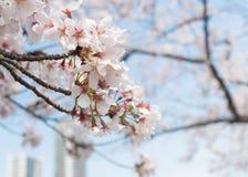 Όμορφο λουλούδι sakura ανθών κερασιών στοκ εικόνες