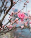 Όμορφο λουλούδι sakura ανθών στην άνοιξη, Ιαπωνία στοκ φωτογραφίες