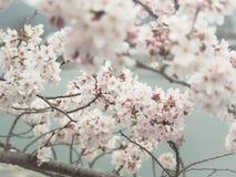Όμορφο λουλούδι sakura ανθών στην άνοιξη, Ιαπωνία στοκ εικόνα με δικαίωμα ελεύθερης χρήσης