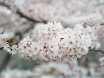 Όμορφο λουλούδι sakura ανθών στοκ εικόνα με δικαίωμα ελεύθερης χρήσης