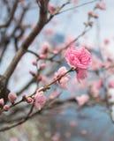 Όμορφο λουλούδι sakura ανθών στοκ εικόνες με δικαίωμα ελεύθερης χρήσης