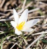 Όμορφο λουλούδι snowdrop στη φύση την άνοιξη Στοκ Φωτογραφίες
