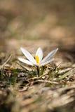 Όμορφο λουλούδι snowdrop στη φύση την άνοιξη Στοκ εικόνες με δικαίωμα ελεύθερης χρήσης