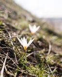 Όμορφο λουλούδι snowdrop στη φύση την άνοιξη Στοκ εικόνα με δικαίωμα ελεύθερης χρήσης