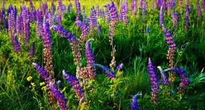 όμορφο λούπινο λουλουδιών αλεών Στοκ φωτογραφία με δικαίωμα ελεύθερης χρήσης